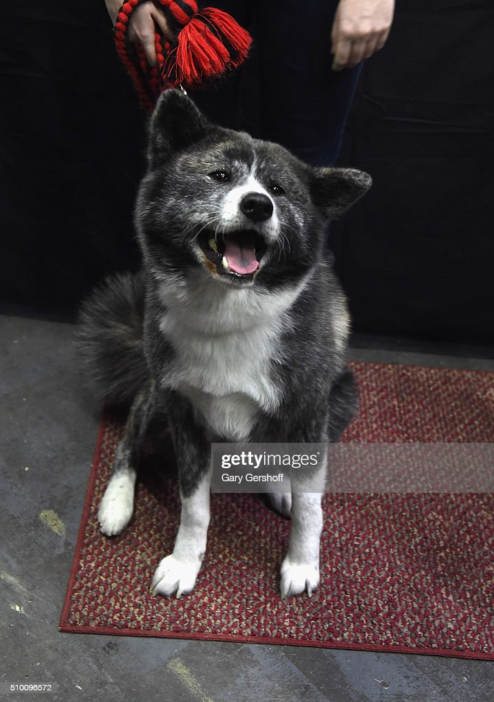 Amaya a four year old female Akita attends the 7th Annual AKC Meet The Breeds at Pier 92 on February 13 2016 in New York City