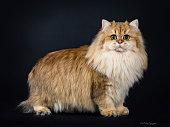 Amazing full coated fluffy golden British Longhair cat kitten  on black background.