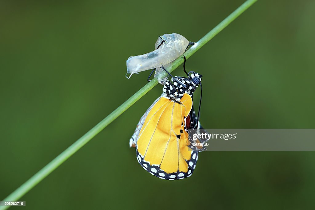 amazing moment about butterfly change form chrysalis : Stock Photo