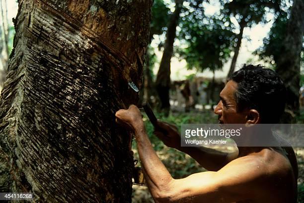 Amazon Brazil Tropical Rain Forest Rubber Tree Plantation Harvesting Rubber