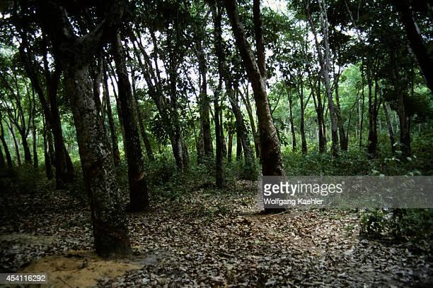 Amazon Brazil Tropical Rain Forest Rubber Tree Plantation