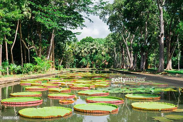 Amazon Lily Mauritius Island Pamplemousse Gardens