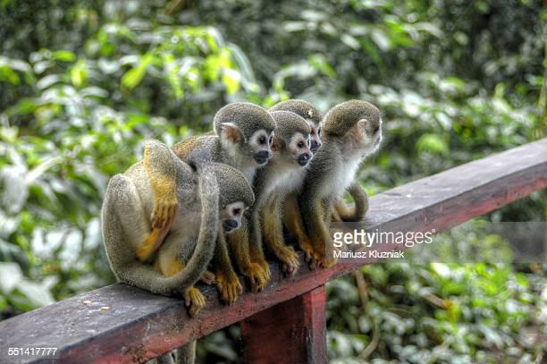 Amazon monkey family sitting together