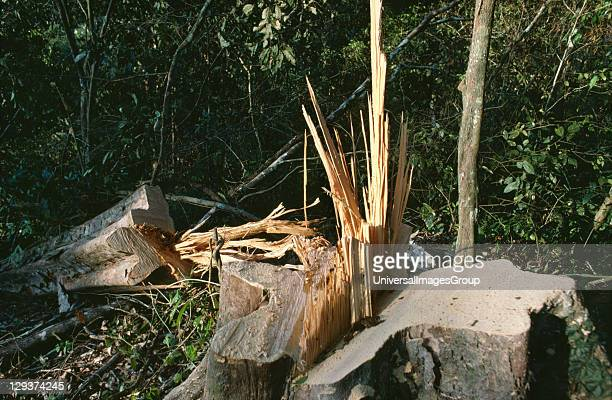 Amazon Peru Vicinity Satipo Logging Hardwood In Latin America Commercial Logging Accounts For Little Forest Destruction But logging roads bring land...
