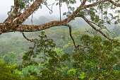 Landscape of the Amazon Rainforest in fog and mist seen from a observation platform and tower in a Ceiba tree with two many-banded Aracari (Pteroglossus pluricinctus) in the Yasuni National Park, Ecua