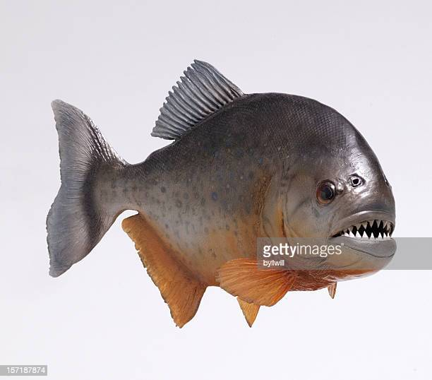 Amazonas pirahna fish