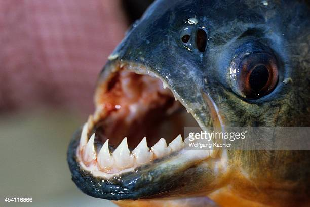 Amazon Sharp Teeth Of A Piranha One Of The Numerous Species Of Fish In The Amazon