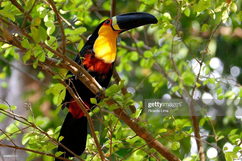Amazonic toucan : Foto de stock
