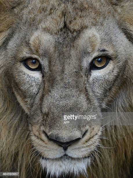 Ambar an Asiatic lion looks on from an enclosure at the Kamla Nehru Zoological Garden in Ahmedabad on January 23 2014 The Asiatic lion listed as...
