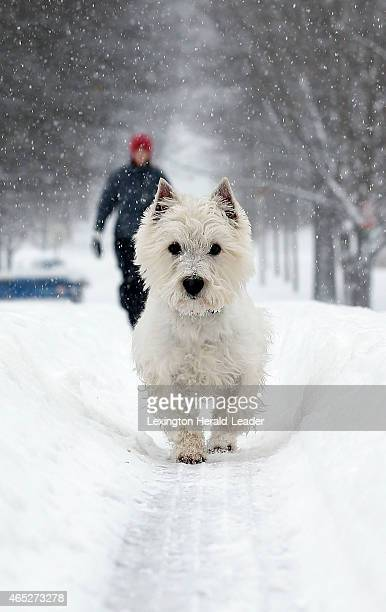 Amberlee Fay walks with her West Highland Terrier Siggy in the deep snow on Tahoma Rd on March 5 2015 in Lexington Ky She said Siggy normally doesn't...