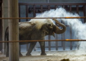 Ambika a 65 year old female Asian Elephant uses her trunk to spray herself with sand in her new enclosure at the Smithsonian's National Zoo Elephant...