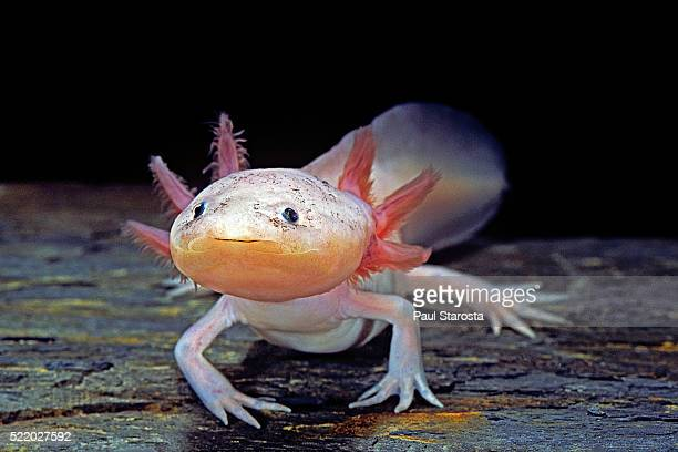 Ambystoma mexicanum f. leucistic (axolotl)