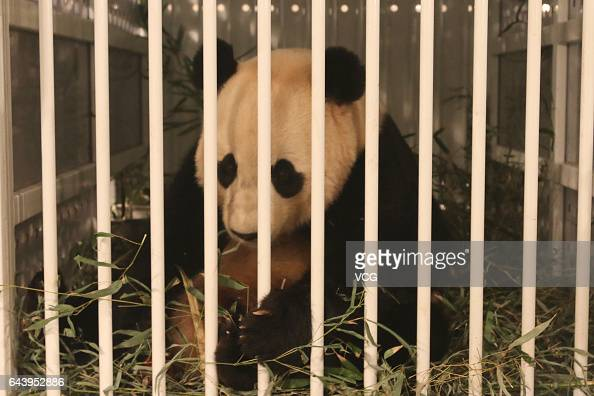 Americaborn giant panda Bao Bao eats bamboos at a cabin in Chengdu Shuangliu International Airport on February 22 2017 in Chengdu Sichuan Province of...