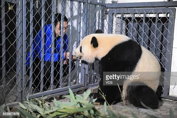 Americaborn giant panda Bao Bao in quarantine eats bamboos at Dujiangyan Panda Base on February 22 2017 in Chengdu Sichuan Province of China Bao Bao...