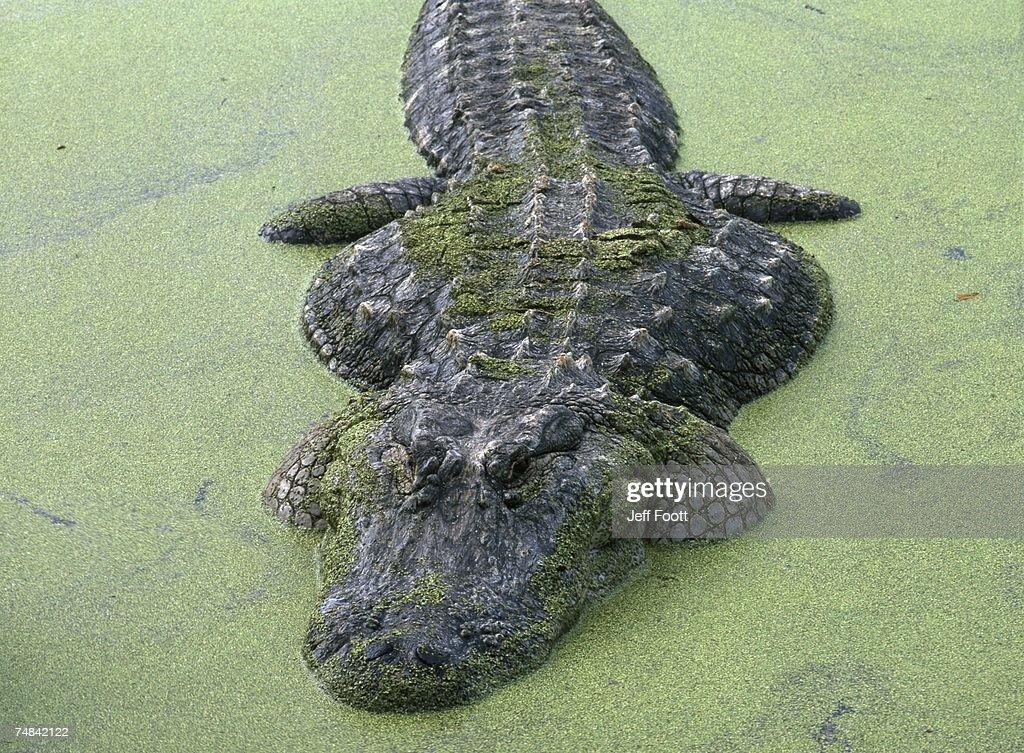 American alligator in 'duck weed'. Alligator mississippiensis. Alligator Farm, Florida.