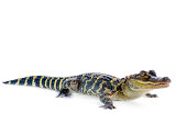 Young American Alligator on white background.