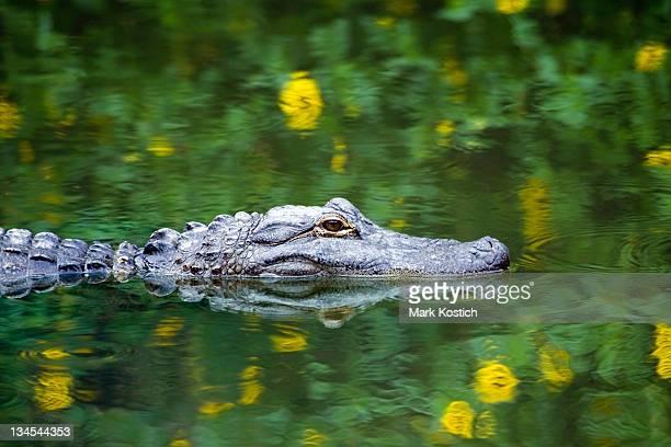 Alligator américain de la piscine dans les Everglades