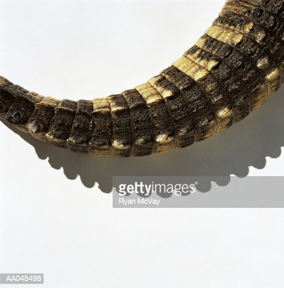 American alligator's tail, close-up