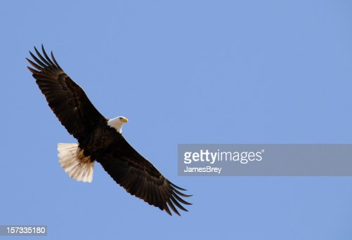 American Bald Eagle Flight, Freedom, Flying In Clear Blue Sky