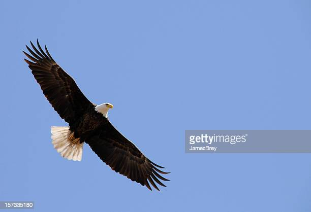 American Bald Eagle Flight, Freedom, Flying In Clear Blue Sky