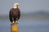 American Bald Eagle (Haliaeetus leucocephalus) on post screaming, Florida, USA