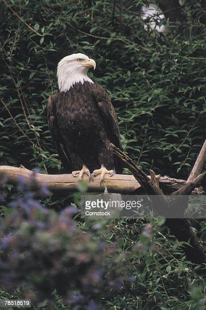 American bald eagle on tree branch