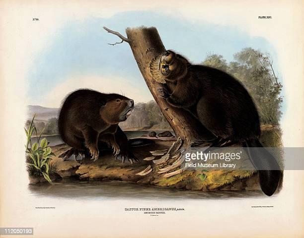 American Beaver Castor fiber Americanus Plate 46 in John James Audubon's The Viviparous Quadrupeds of North America mid 19th century
