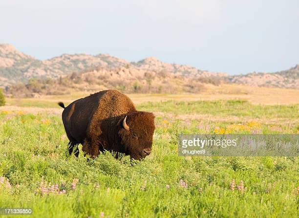 Bisonte americano (buffalo) entre las flores silvestres en Wichita Mountains Wildlife Refuge