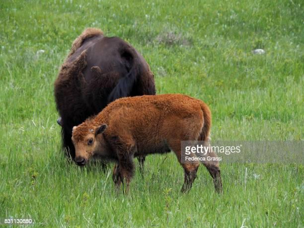 American Bison and Calf, Custer State Park, South Dakota