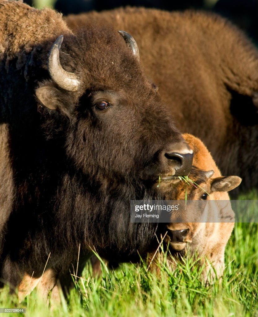 American Bison and Calf in Grand Teton National Park, Wyoming