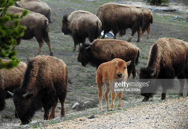 American Bison and their calves forage for food at Yellowstone National Park Wyoming on June 1 2011 In the early 1800's an estimated 65 million bison...