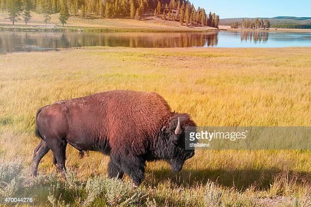 Bisonte americano de Yellowstone