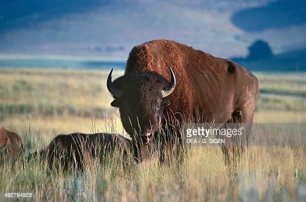 American bison Bovidae Glacier National Park Montana United States of America
