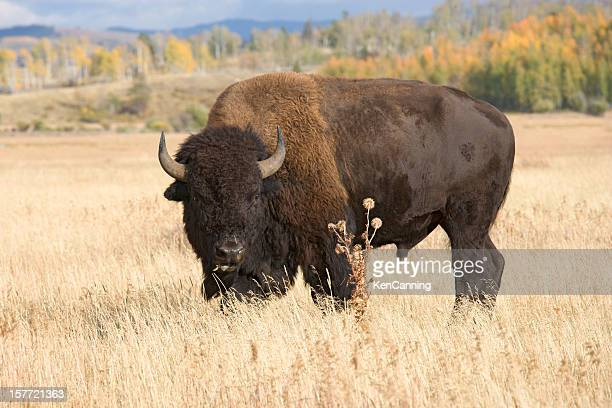 American Bison, Buffalo grasen in Grass Field