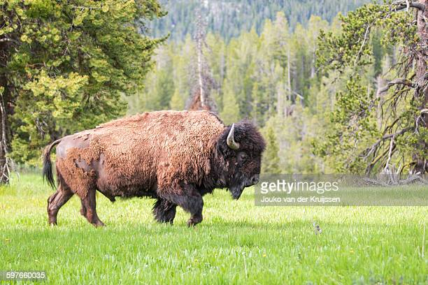 American bison bull, Yellowstone National Park, Wyoming, USA