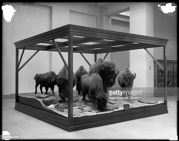 American Bison Group diorama different view looks like preinstallation case frame but no glass Field Museum of Natural History interior 1918