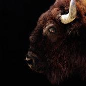 American Bison (Bison bison) head-shot