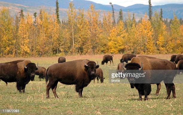 American bison herd in plains near Delta Junction,Alaska