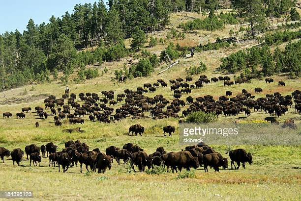 American Bison Herd in South Dakota
