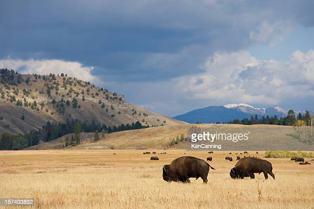 American Bison Herd on the Prairie