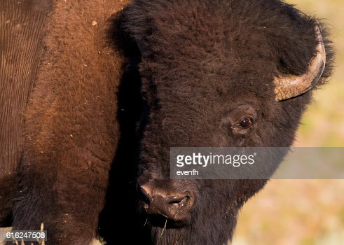 American bison in Yellowstone National Park, United States : Foto de stock
