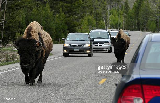 American Bison join the morning commute on Highway 89 at Yellowstone National Park Wyoming on June 1 2011 In the early 1800's an estimated 65 million...