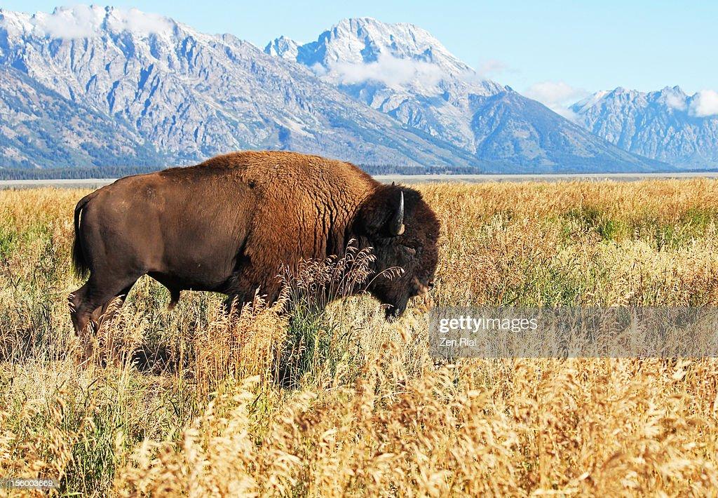 American Bison of Grand Tetons : Stock Photo