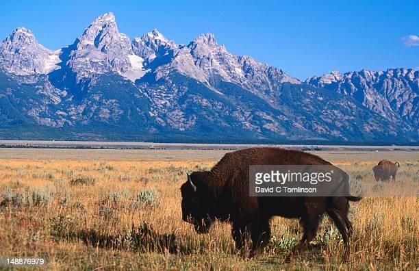 American bison (bison bison) on Antelope Flats, with Teton Range beyond.