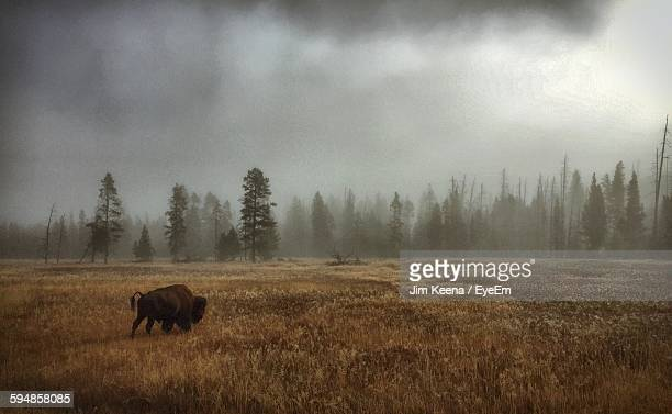 American Bison On Grassy Field By Tree Against Sky In Foggy Weather