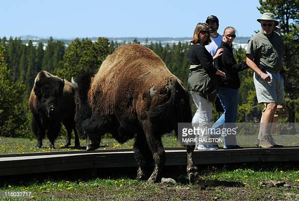 American Bison pass by tourists at Yellowstone National Park Wyoming on June 1 2011 In the early 1800's an estimated 65 million bison roamed...