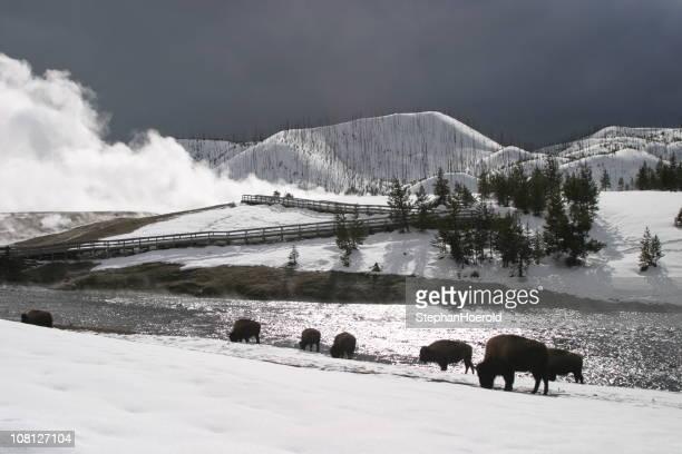 Bisonte americano de roaming en la nieve cerca de Yellowstone géiser