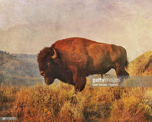 American Bison Standing On Field Against Sky