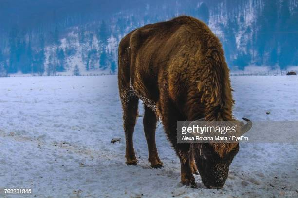 American Bison Standing On Snow Field During Winter