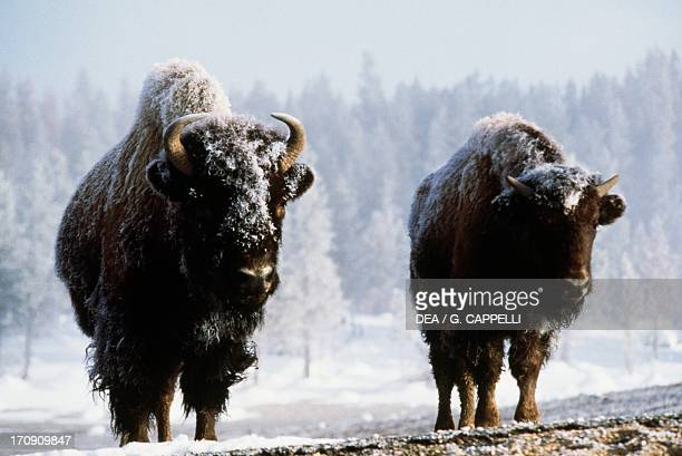 American bison Yellowstone National Park Wyoming United States of America
